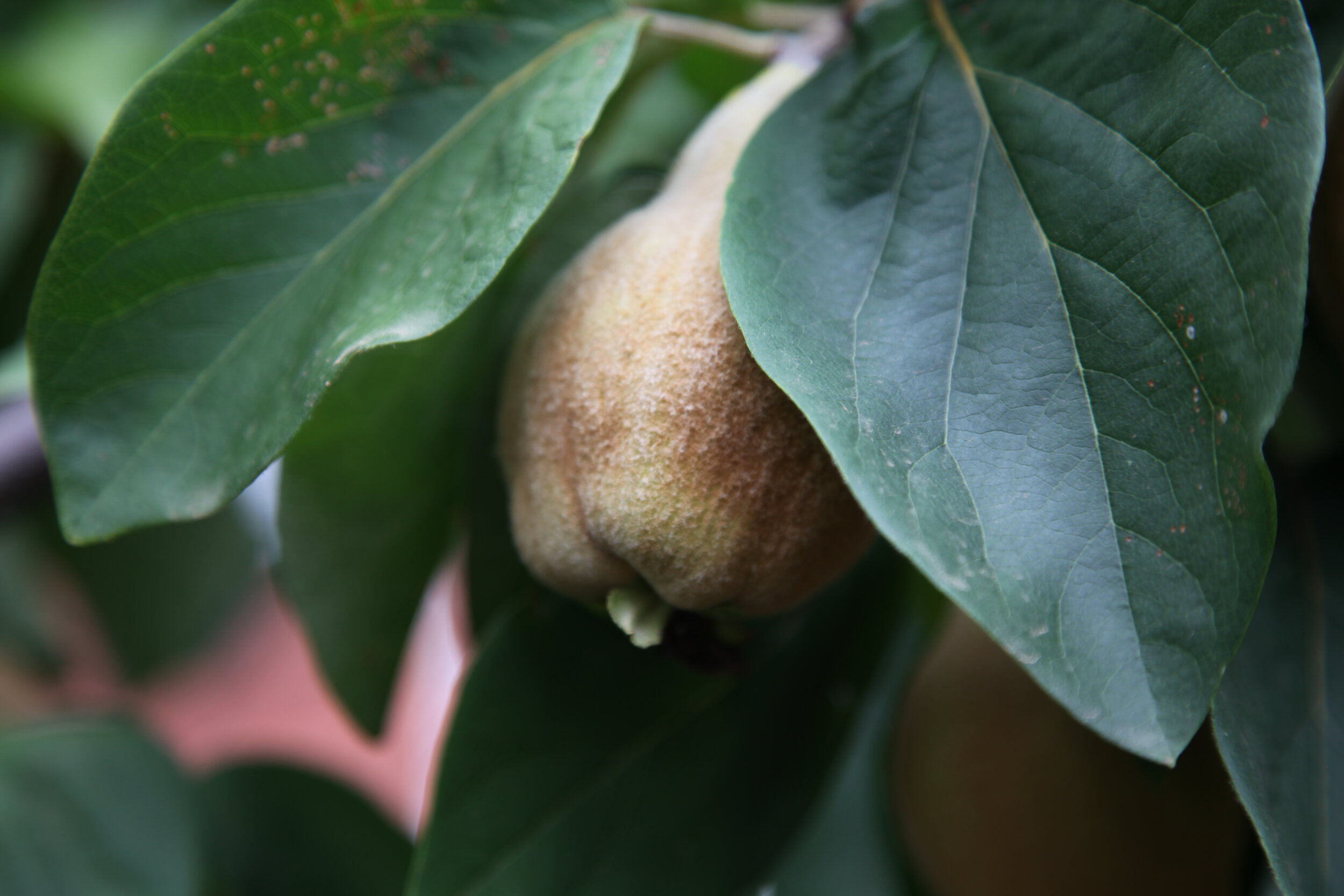 Quince Trees buy online from the tree shop nursery melbourne.JPG