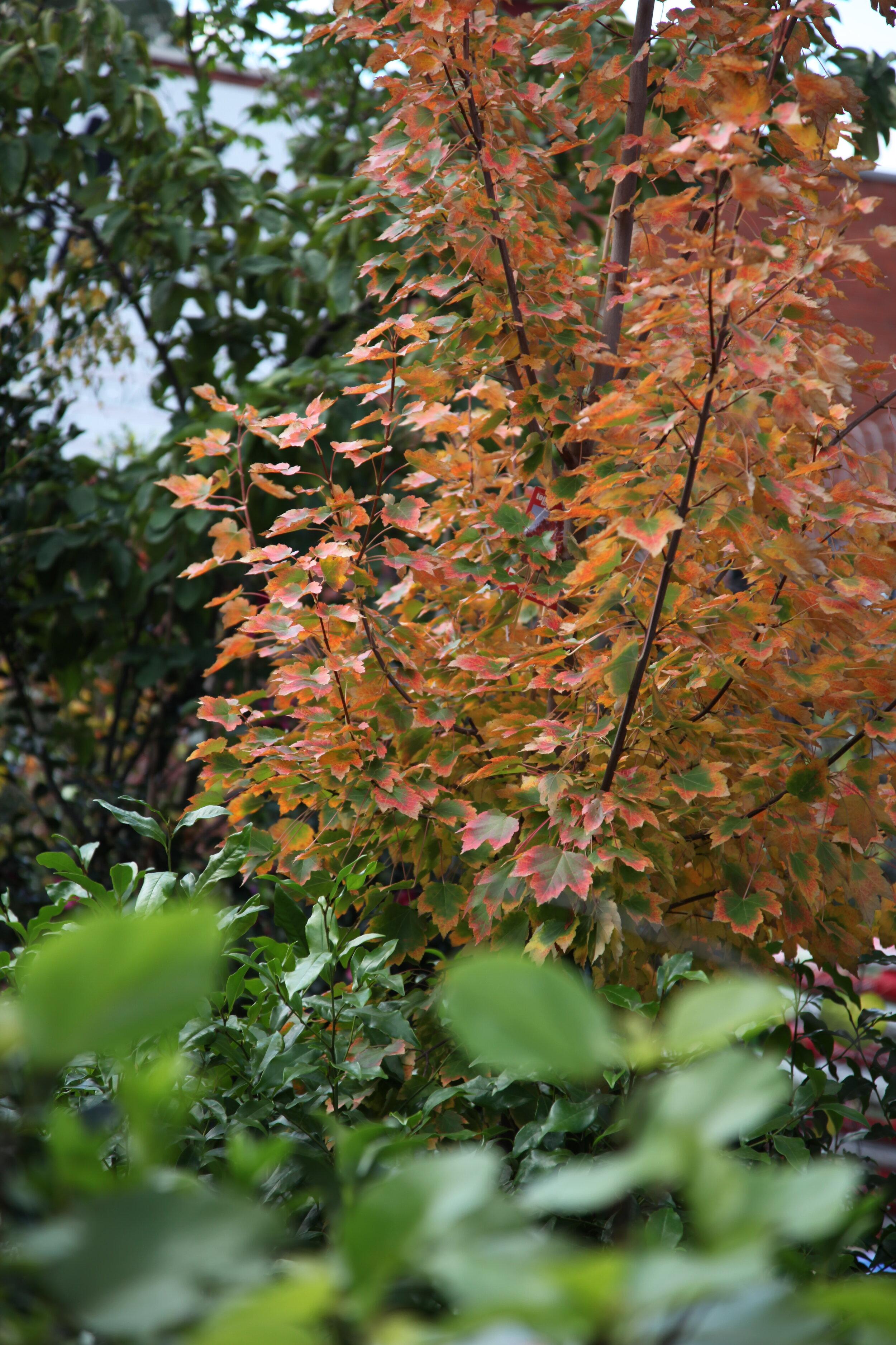 Autumn leaves acer october glory.JPG