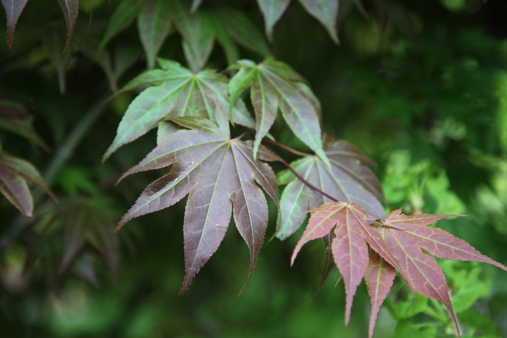 Japanese maples.JPG