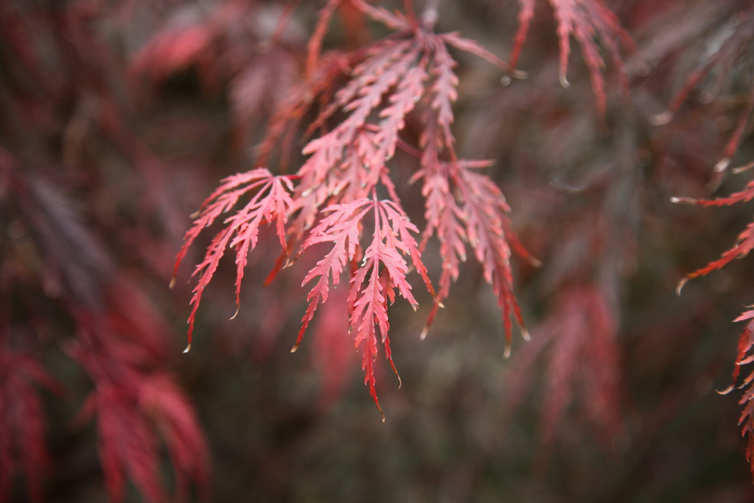 Japanese Maple acer inaba shidare buy online from the tree shop nursery melbourne.JPG