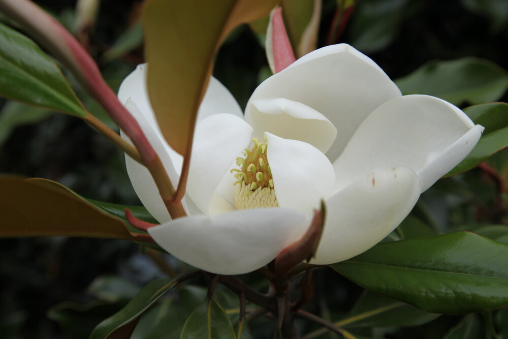 Magnolia tree narrow garden garden ideas.JPG