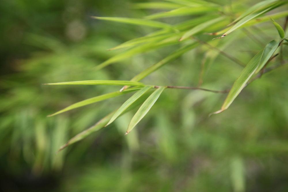bamboo-tree-buy-plants-online-melbourne.jpg
