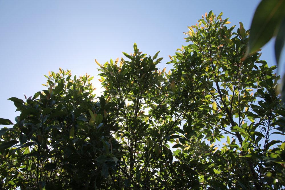 blueberry ash.JPG