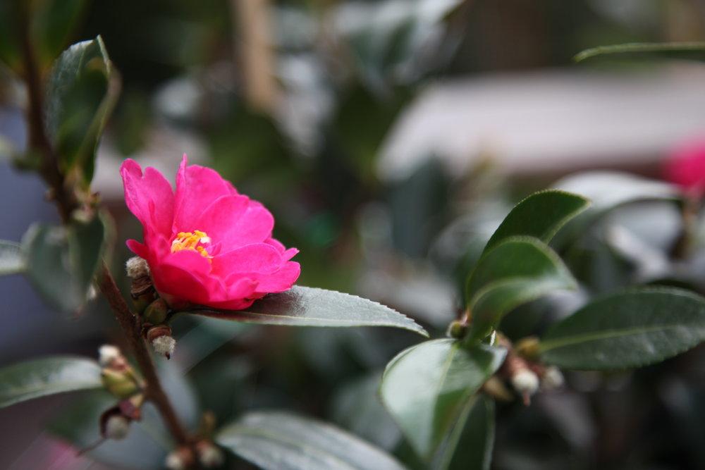 camelia-sasanqua-buy-plants-online-melbourne.JPG