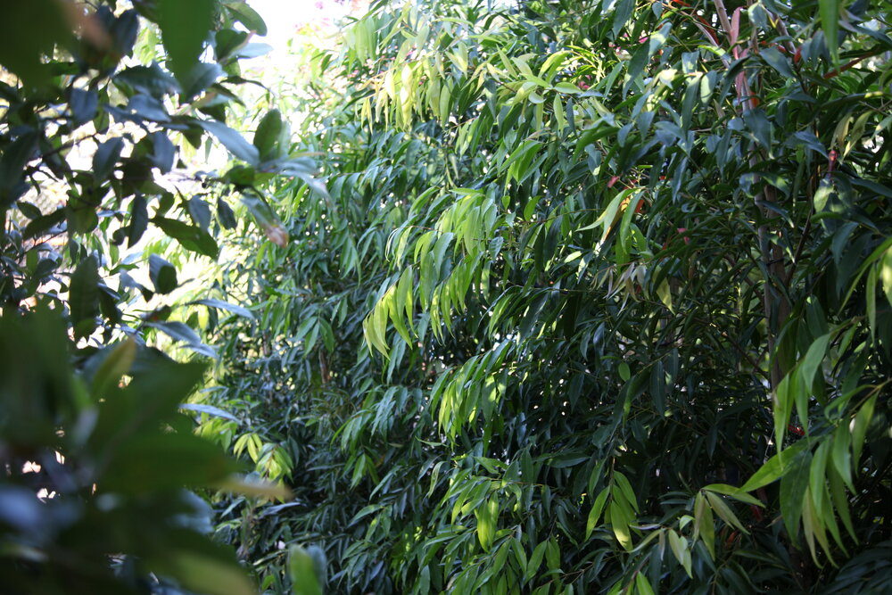privacy trees waterhousia lily pilly screening plants melbourne nursery