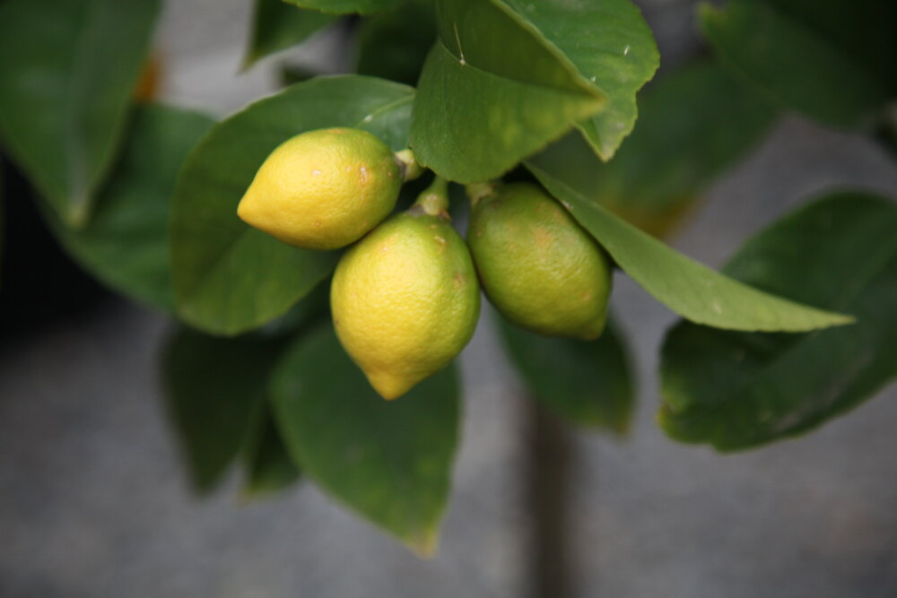 citrus Trees for Pots
