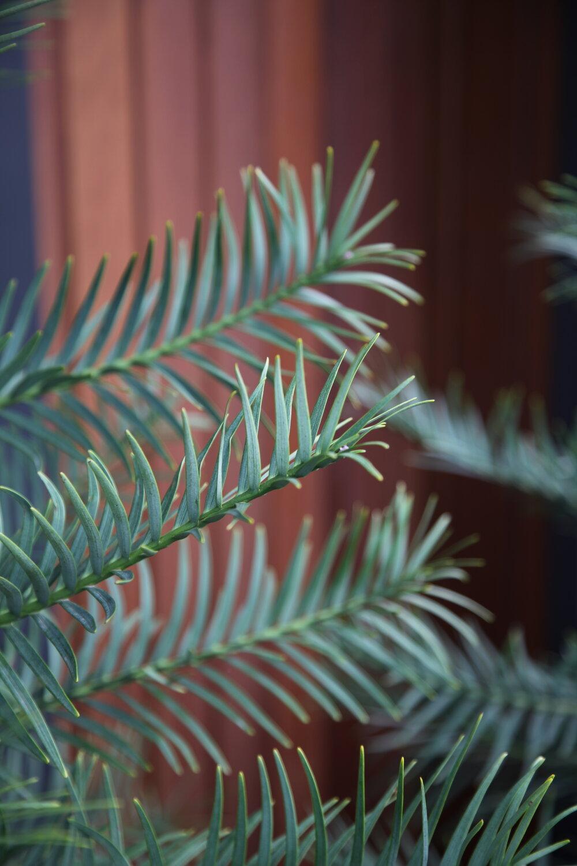 wollemii pine