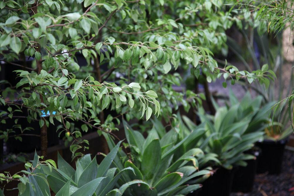 narrow garden, driveway garden, trees for narrow spaces