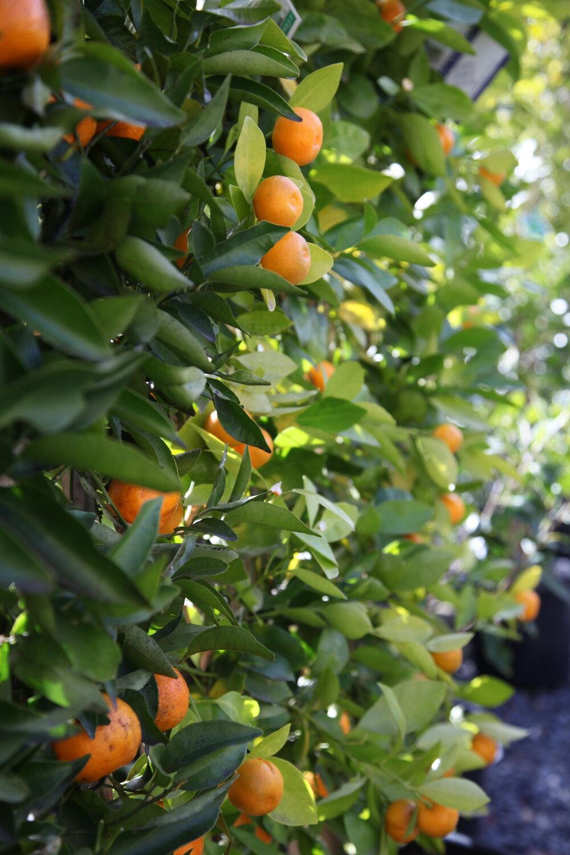 espaliered citrus tree courtyard garden fruit tree