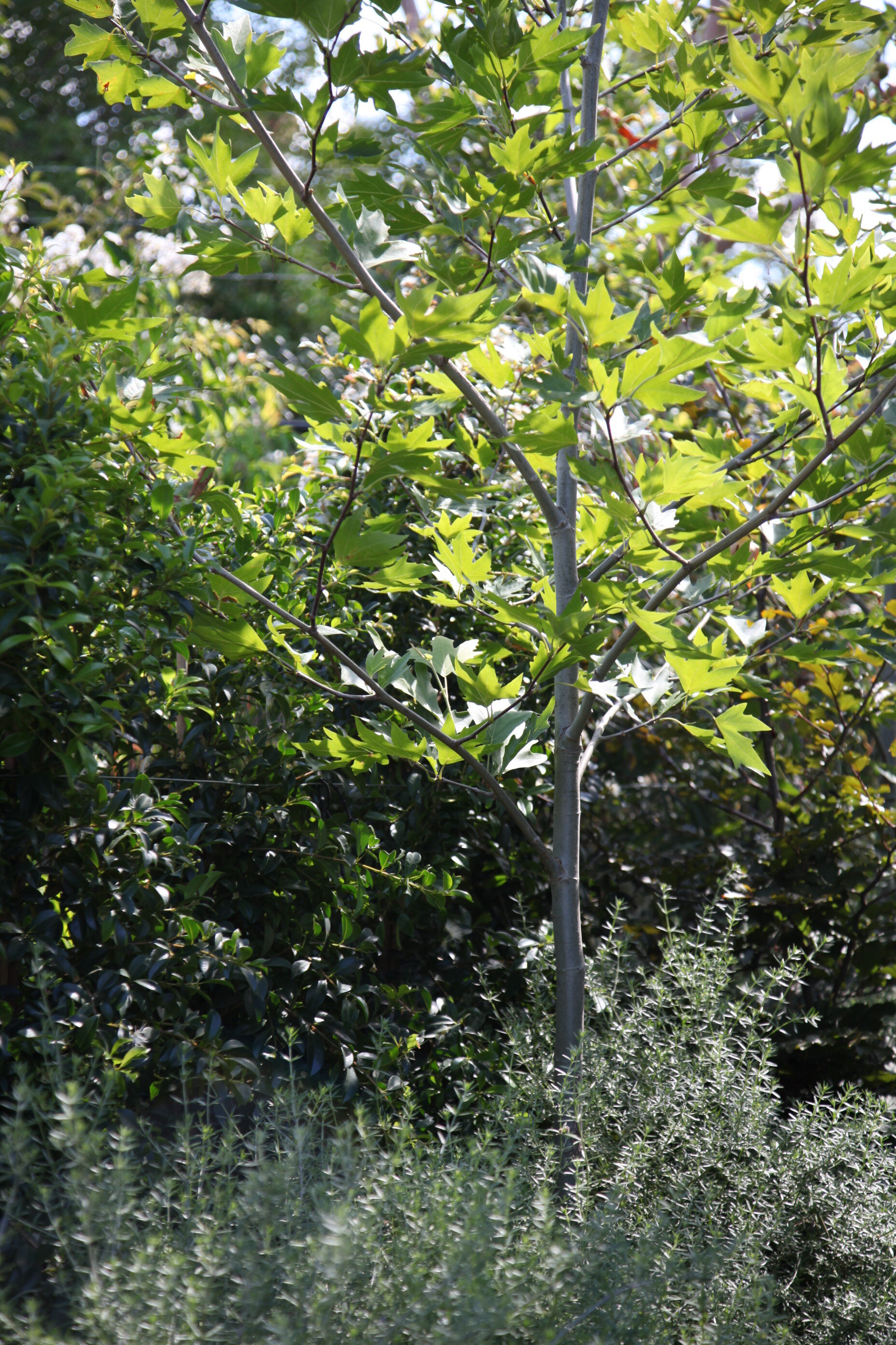 platanus plane tree shade tree.JPG