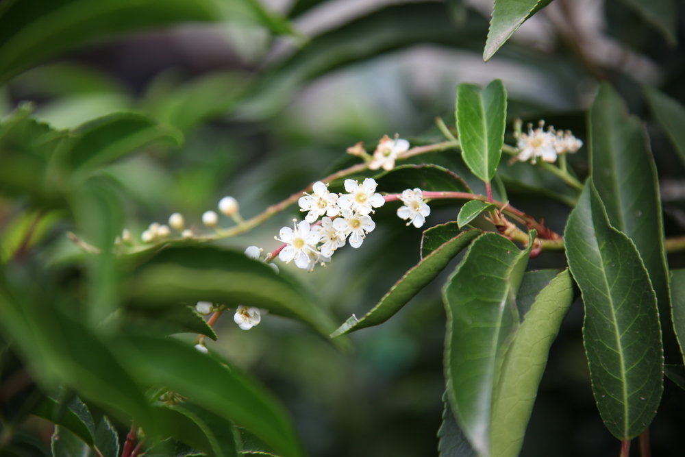 portuguese-laurel-buy-plants-online-melbourne.JPG